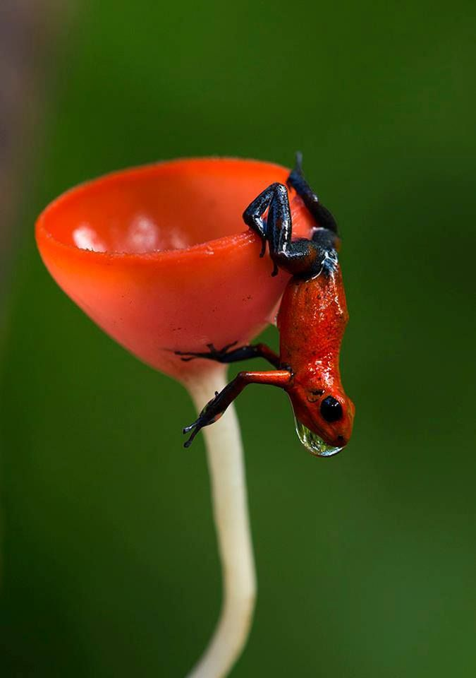 Oophaga pumilio with fungi. Either that or it's one of those martini glass frog burlesque routines.