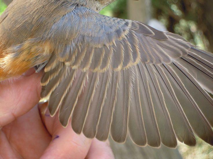 Bird Wings on Folded-Wings - DeviantArt  Folded Bird Wings