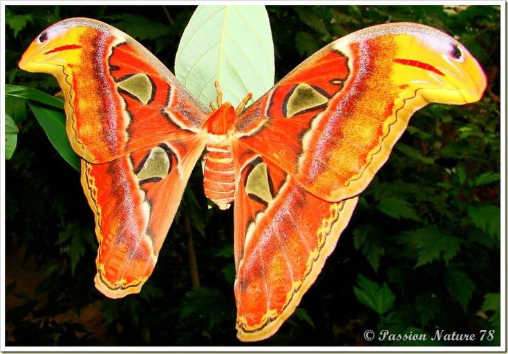 Les plus beaux papillons du monde papillon attacus atlas for Le plus beau canape du monde