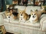 Corgi advice: Hey, you people should get yourself's a sofa too!