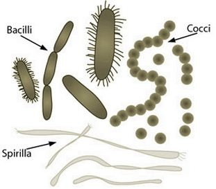 The word bacillus (plural bacilli) may be used to describe any rod-shaped bacterium, and such bacilli are found in many different taxonomic groups of bacteria. However, the name Bacillus, capitalized and italicized, refers to a specific genus of bacteria. The name Bacilli, capitalized but not italicized, can also refer to a more specific taxonomic class of bacteria that includes two orders, one of which contains the genus Bacillus.