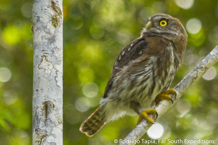 Ears alert at the slightest sound coming from the canopy above, a stalking Austral Pygmy Owl, Glaucidium nana, turns its head to focus on a potential kill in a temperate rainforest in Lake District, Chile. This small owl is deceptively fierce and powerful for its size, and is well known for hunting much larger prey, especially birds caught by surprise in the foliage, day and night alike.  Rodrigo Tapia J. - Ornithologist / Tour Leader, Far South Expeditions rtapia@farsouthexpeditions.com