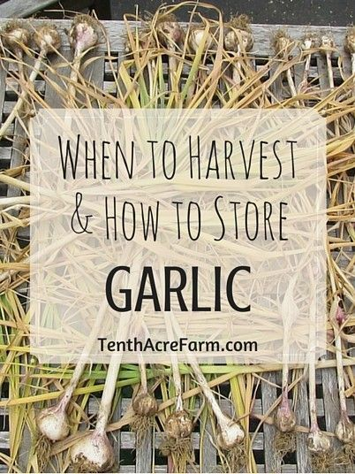 Growing garlic is easy, but many people wonder when to harvest and how to store garlic. I share my tips in this article.