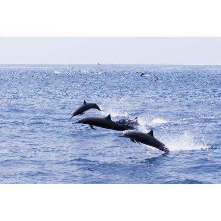 Guatemala Puerto Quetzal Spinner Dolphins Jumping Canvas Art - Rick Gaffney Design Pics (38 x 24)