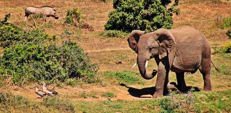 Elefant, Tier, Afrikanischer Elefant, Afrika, Safari