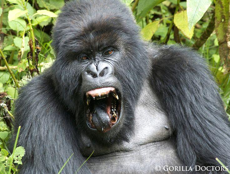 a mountain gorilla silverback in dr congo shows off his