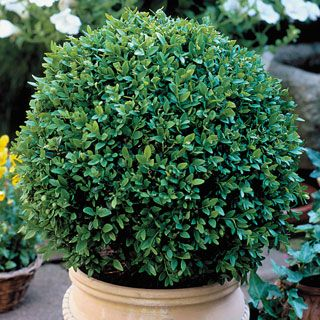 Boxwood Green Velvet: 'Green Velvet' retains its deep, velvety green foliage color clear through the most difficult winters!  Its lovely, full-bodied habit, which is very low, rounded, and dense, shears and shapes beautifully to any desired form -- from topiary to an excellent, crisp low hedge. Zones 5-9. 4-inch pot - $10.36