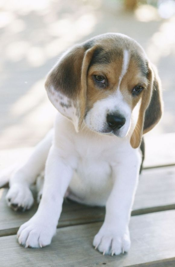 What a cutie pie! I am getting baby fever! Baby Beagle that is!