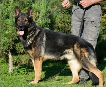 German Shepherds for Sale | Puppies for Sale in CT