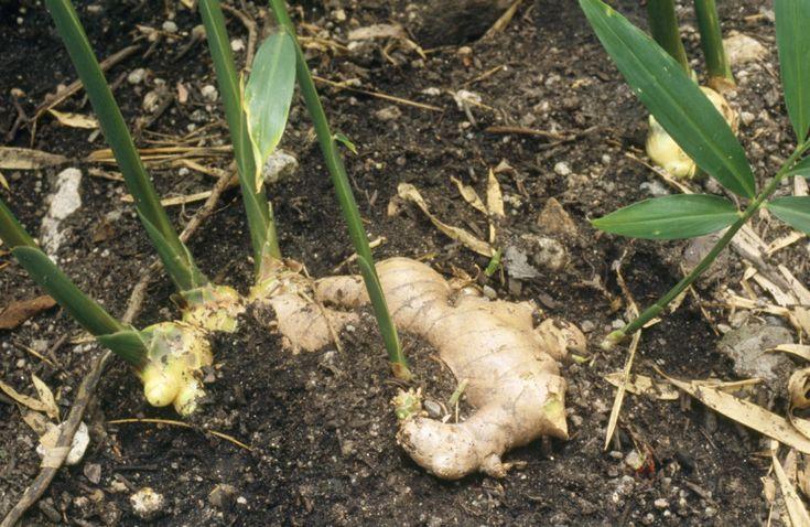 Ingefära går, trots dess exotiska ursprung, att odla i Sverige. När du väl planterat din egen ingefära kommer växten, om den sköts rätt, fortsätta ge dig färska rötter år efter år.