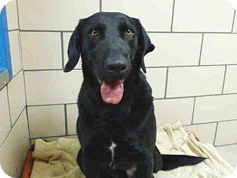 Fort Wayne, IN - Labrador Retriever Mix. Meet BUDDY, a dog for adoption. http://www.adoptapet.com/pet/18036207-fort-wayne-indiana-labrador-retriever-mix