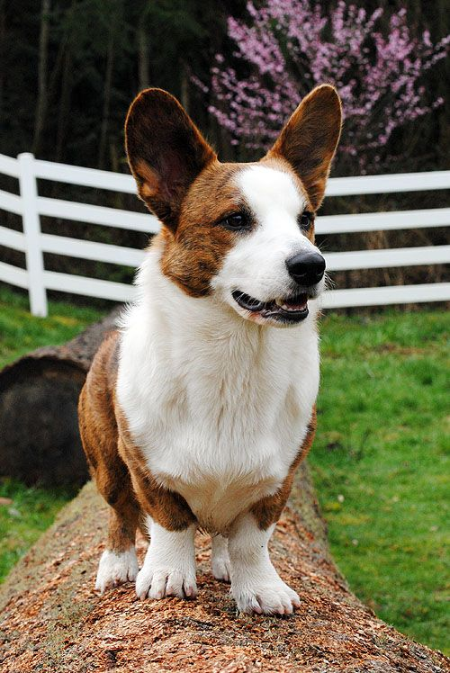 Red brindle Cardigan Welsh Corgi dog standing on log by white fence #Dog #Puppy #Puppies