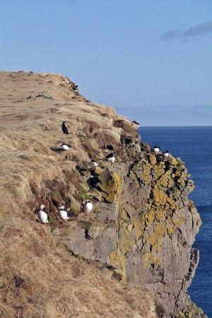 #maskonury  #Islandia #Iceland #latrabjarg #puffin