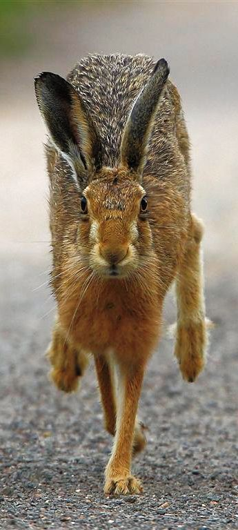 I love hares, ancient, strong creatures, they play a big part in myths, legends and magic.