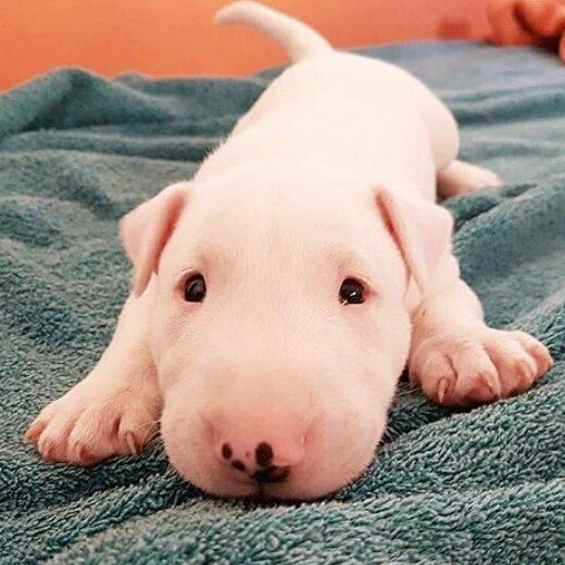 """313 Likes, 5 Comments - Bullterrier of Instagram (@bullterriergram_) on Instagram: """"Wiggle Wiggle by unknown (dm for credit)❤ tag a bully lover """""""