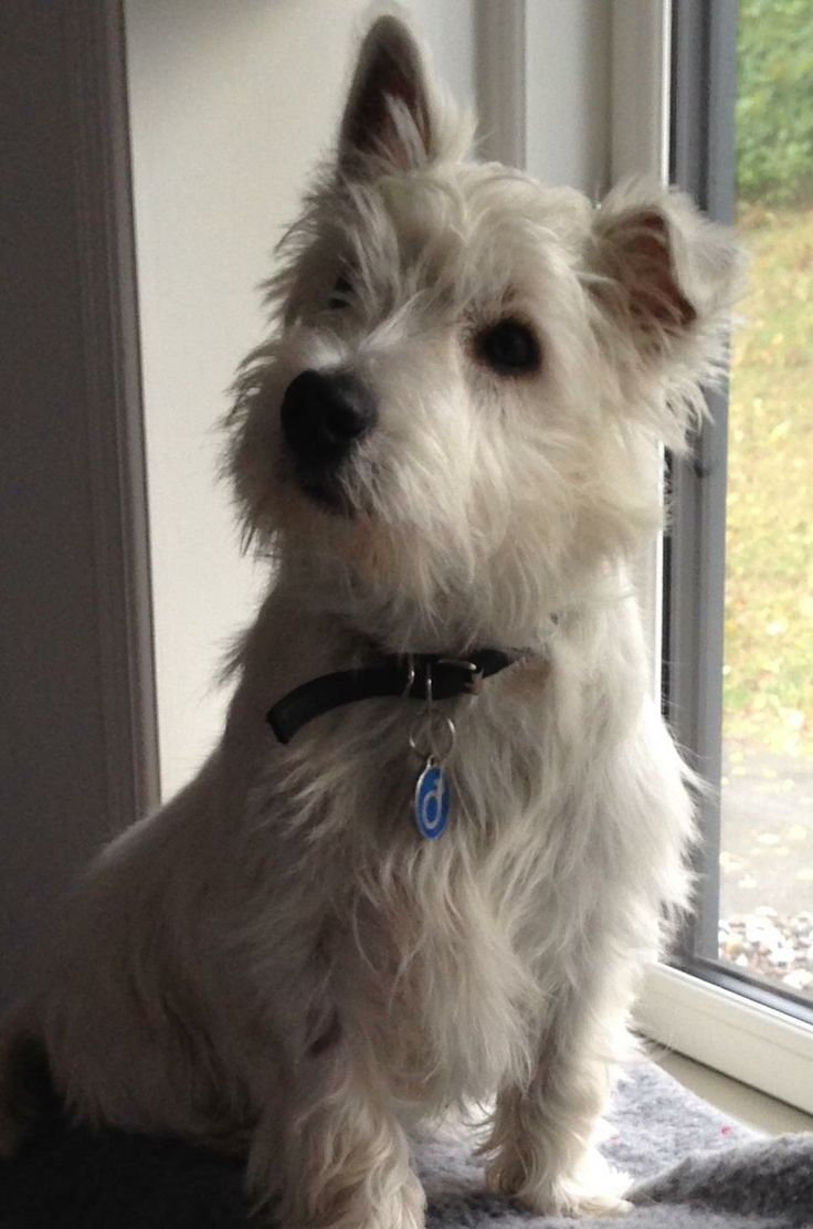88 best westie images on pinterest westies diesel and diesel fuel find this pin and more on westie by sannejacobsen nvjuhfo Choice Image
