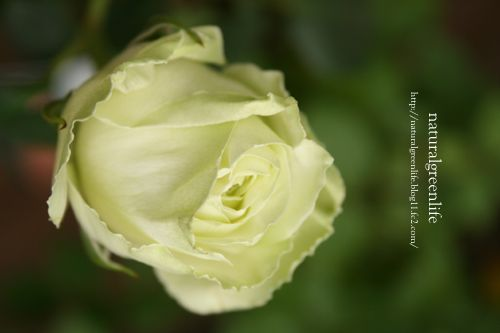 薔薇 白のかくれんぼ2