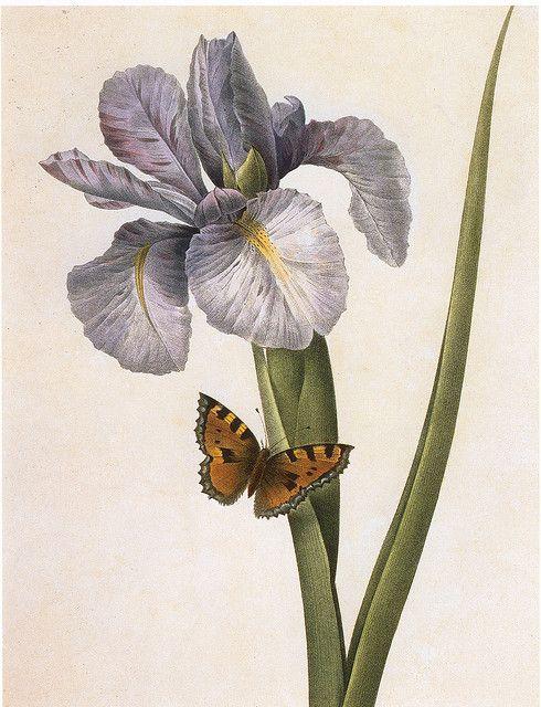Spanish Iris. Pierre-Joseph Redouté from Choix des plus belles fleurs, 1827