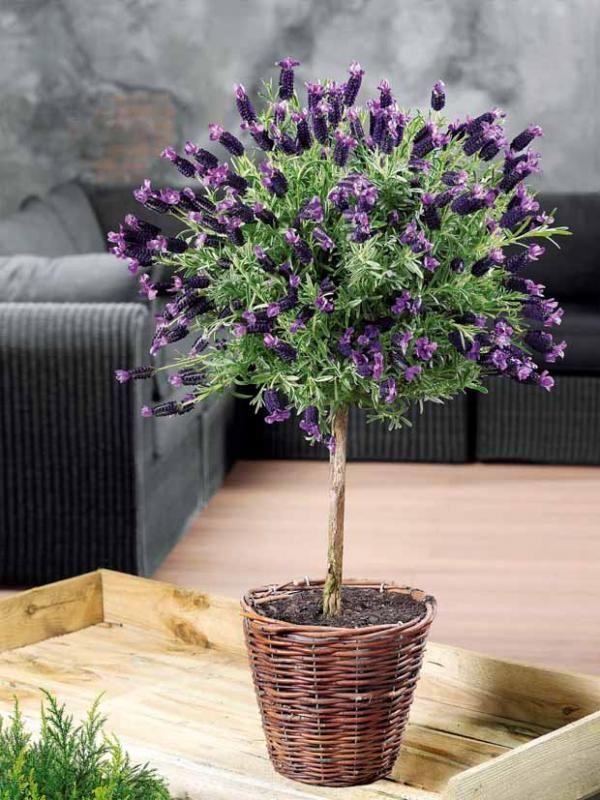 les 25 meilleures id es de la cat gorie arbuste sur tige sur pinterest hydrangea arborescens. Black Bedroom Furniture Sets. Home Design Ideas