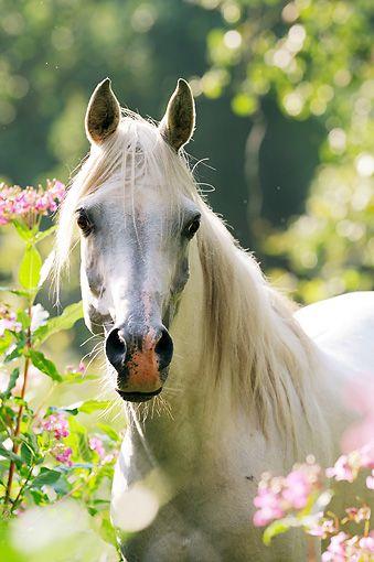 White Arabian Horse Head