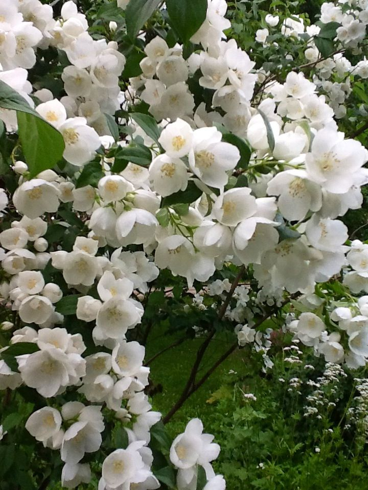 Mock Orange    Light:Sun,Part SunZones:4-7Plant Type:ShrubPlant Height:3-15 feet tallPlant Width:To 6 feet wideLandscape Uses:Containers,Beds & Borders,PrivacySpecial Features:Flowers,Fragrant,Drought Tolerant,Deer Resistant,Easy to Grow