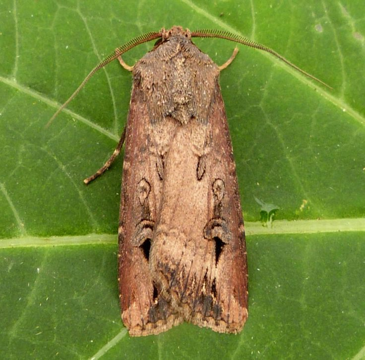 Dark Sword-grass - Agrotis ipsilon, Nature Spot ☆