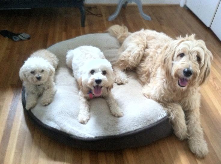 Best 25 Toy Cockapoo Ideas On Pinterest  Toy Poodles -9856