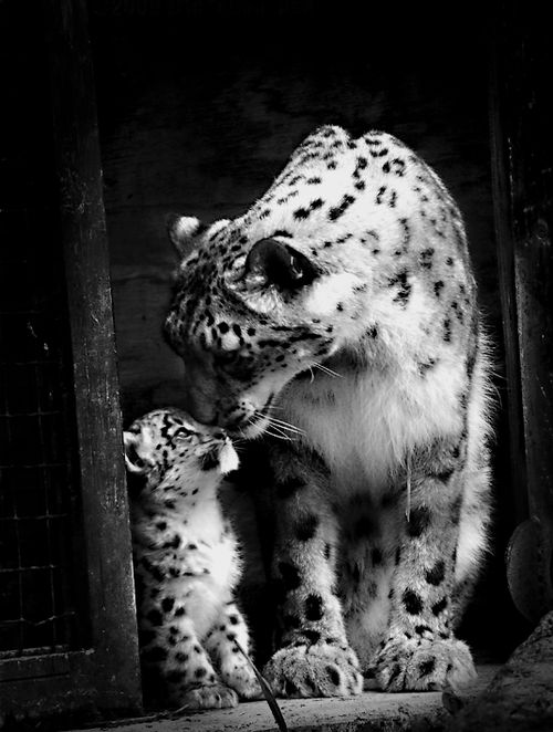 Snow leopard mom and cub