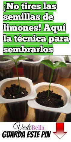 ¡No tires las semillas de limones! Aquí la técnica para sembrarlos y conseguir un buen árbol.
