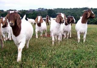 Polo de Pato Branco repassa caprinos a produtores familiares