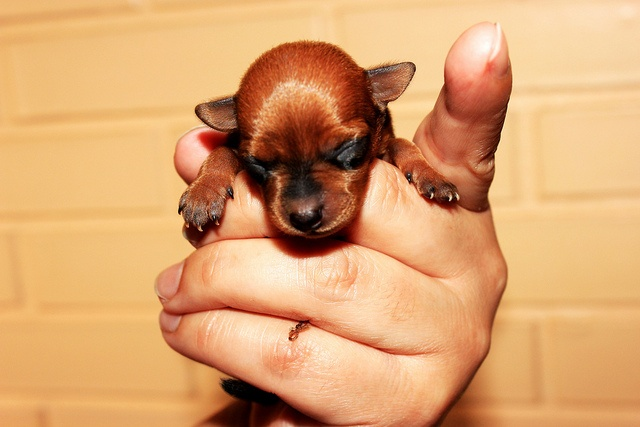 """""""Pequenino"""" - Filhote de pinscher #cachorros Miniature #pinscher #puppy"""