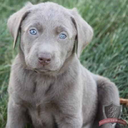 silver lab puppies. Cutest labs ever! silver with bright blue eyes:)