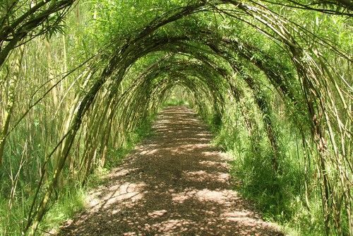 Küblerweide - Salix smithiana günstig aus der Baumschule online kaufen