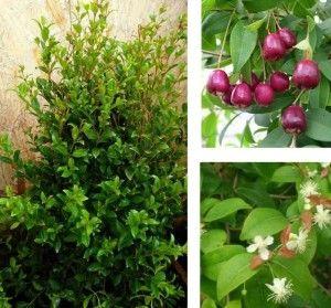 Arbusto eugenia flor y fruto