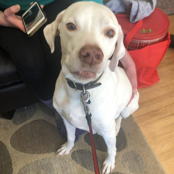 Is This Your Dog Saint Paul German Shorthaired Pointer Mix