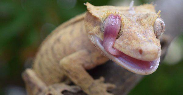 Ресничный геккон-бананоед. У гекконов нет век, и они облизывают глаза языком. Так они удаляют пыль, которая мешает им смотреть.