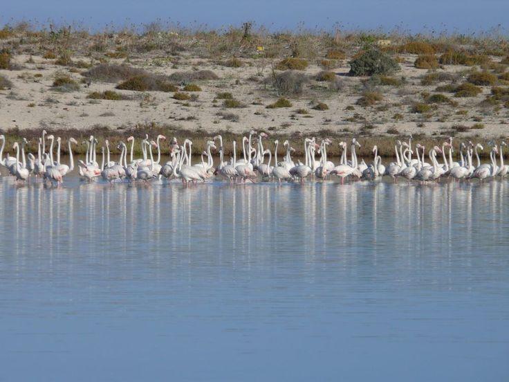 Flamingos στη σειρά στη λιμνοθάλασσα. 11/09/2014.