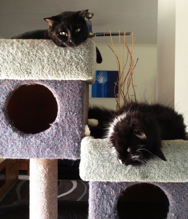 #HappyTail – we recently received a message from Natalie about her cats Cocoa Kisses and Clyde. Clyde has just celebrated his one year adoption anniversary from our Wacol Centre, with Cocoa Kisses adopted from our Springwood Adoption Centre a few years prior. As you can see, they are very happy in their furever home. Thank you so much to Natalie and her family for giving these beauties a second chance! We ♥ rescue pets