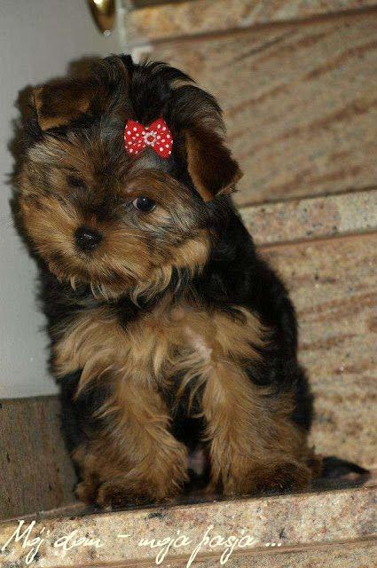 dog, puppy, yorkshire terrier