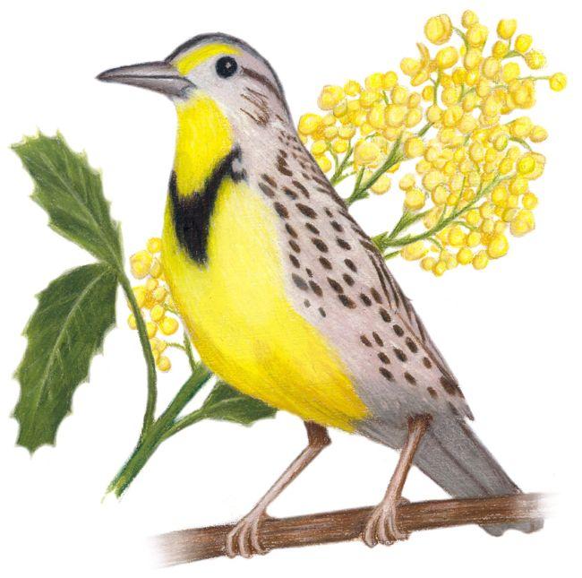 Oregon State Bird and Flower: Western Meadowlark ...