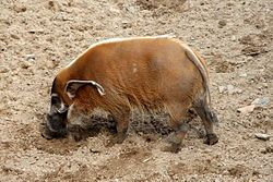 This is Daddy bush pig, or Red River Hog:  you can see the flashy ears, the warty snout, but the tusks are busy rooting around in the ground.  He's about as round as he is tall, but don't be fooled- he can book it faster than you think, & you don't want him on your tail with those tusks and that bulk (Up to 250 lbs., 30 in. high, & about 4 feet in length, excluding the tail.  Latin name: Potamochoerus porcus.