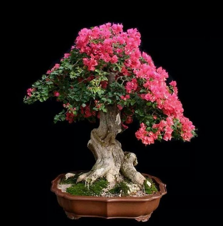 Via fb page Escola Confraria Floripa Bonsai