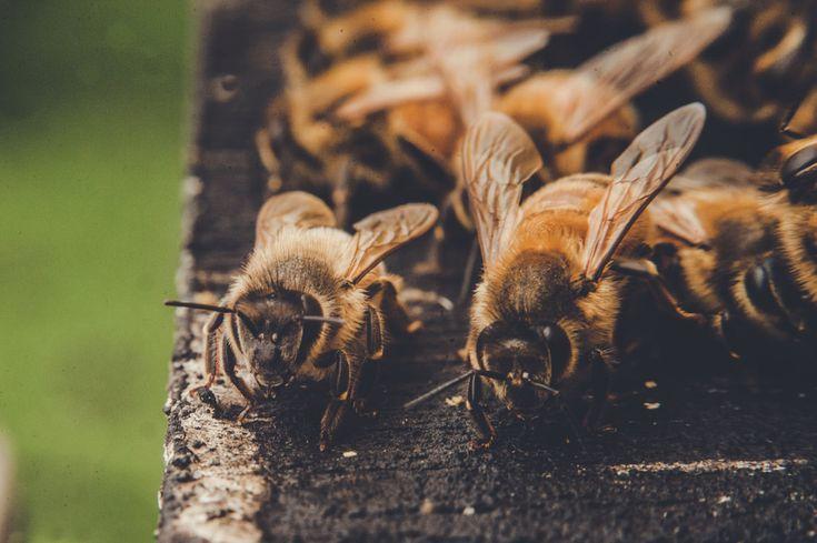 Honey Bees in Australia