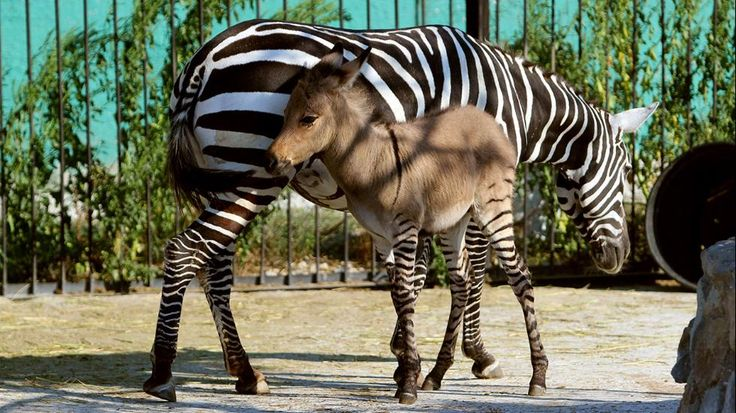 A hybrid of zebra and a donkey plays with his mother at the Taigan zoo park outside Simferopol on Aug. 5, 2014. A Crimean zoo has welcomed into its collection a 'zebroid' or 'zonkey' after a zebra gave birth following befriending a donkey. (Yuri Lashov/AFP/Getty Images)