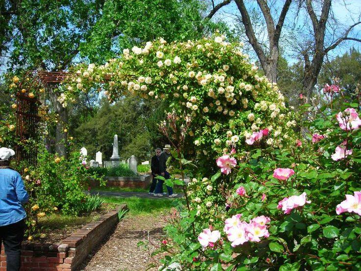Sacramento Cemetery Open Garden Pics   Antique Roses Forum   GardenWeb