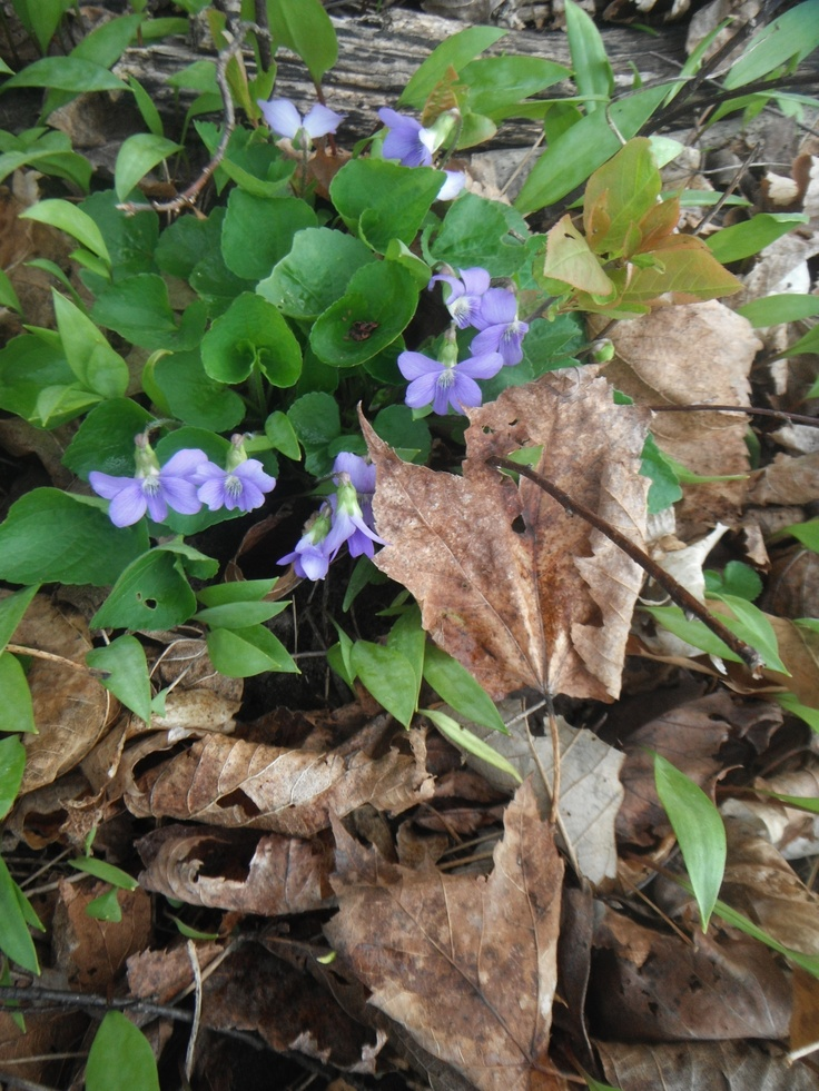 Signs of Spring Wild Blue Violets coming up through the forest floor