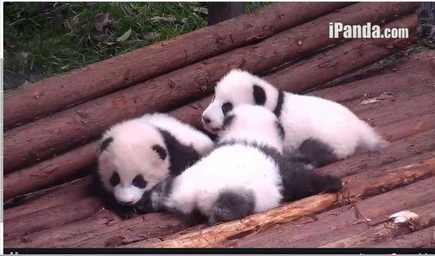 The Pandas On Chengdu's Panda Cam