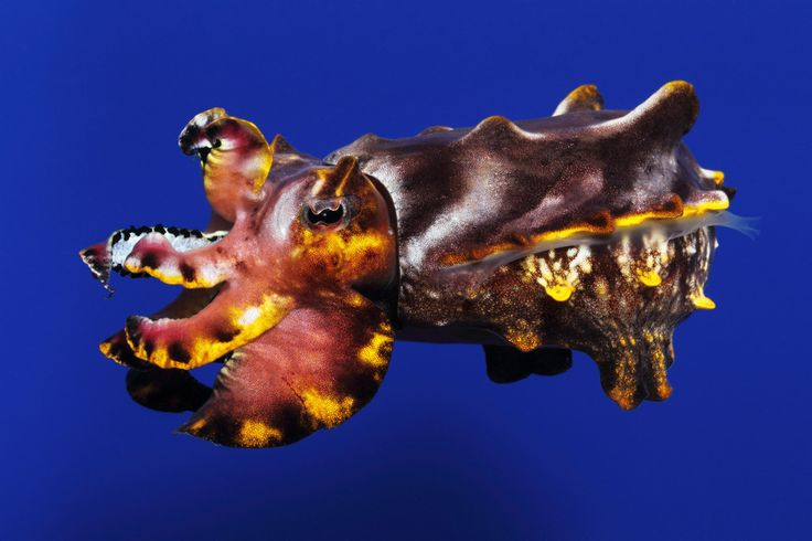 We're working with this species, the flamboyant #cuttlefish (Metasepia pfefferi), for possible future exhibit.