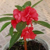 легко выращивать бонсай растения Балкон красный цветок камелии семена недотроги частиц свободную перевозку груза 30