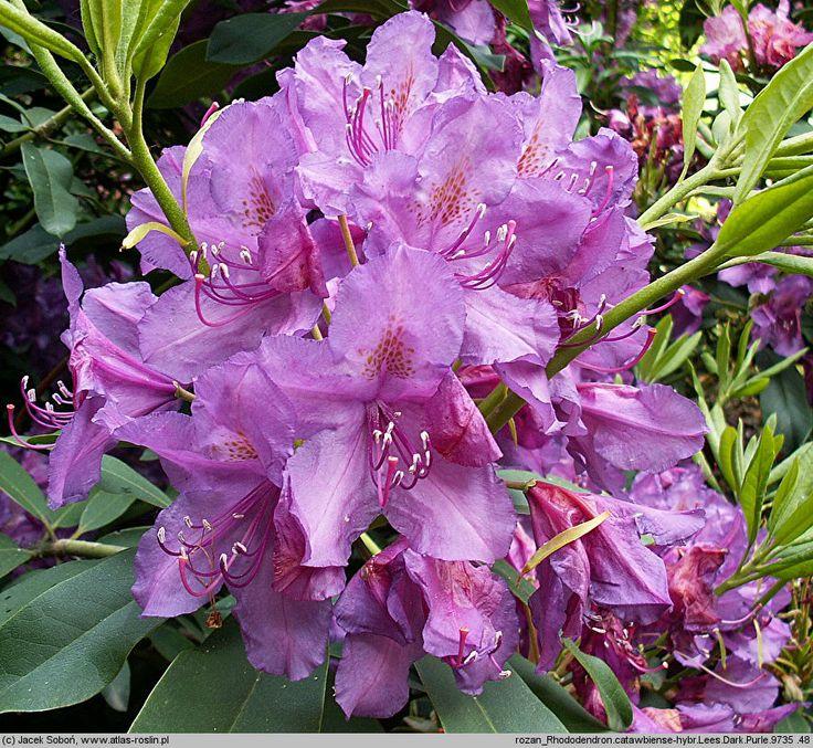 les 25 meilleures id es de la cat gorie rododendron sur pinterest rhododendron foug res et. Black Bedroom Furniture Sets. Home Design Ideas